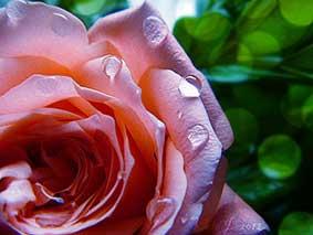 foto de rosa para aromaterapia